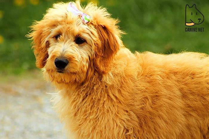 Miniature Goldendoodle Dog