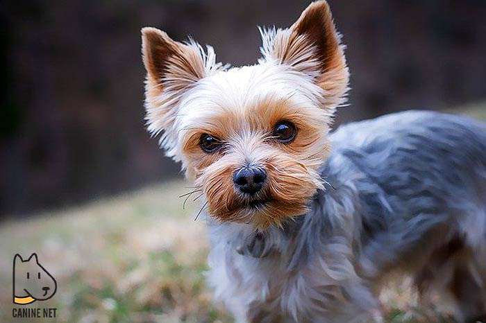1 Yorkshire Terrier