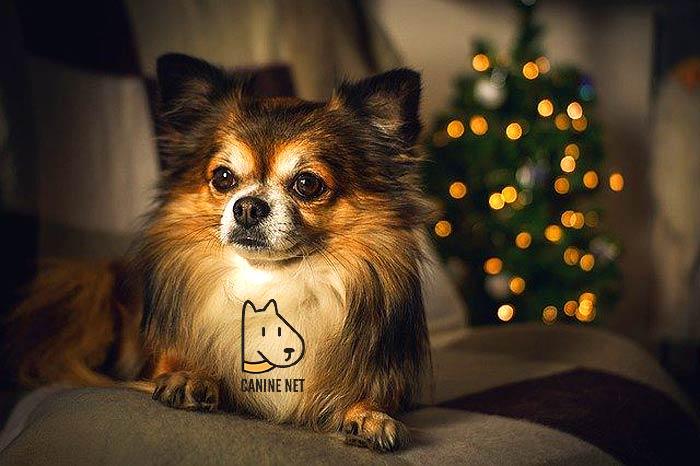 2 Chihuahua