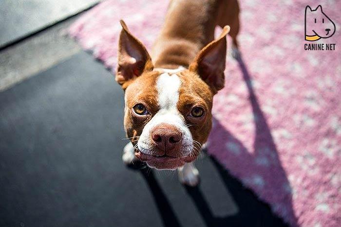 7 Boston Terrier
