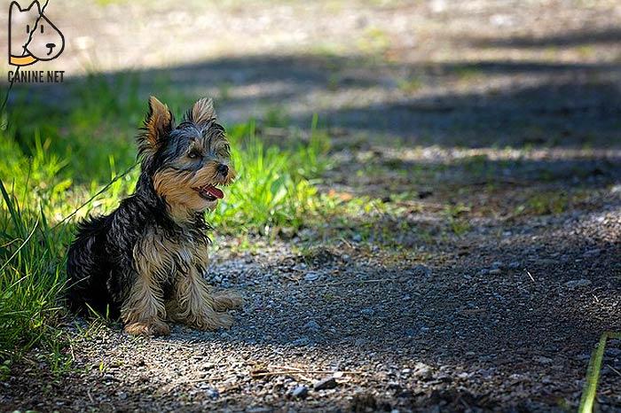 Maltese Terrier Dog