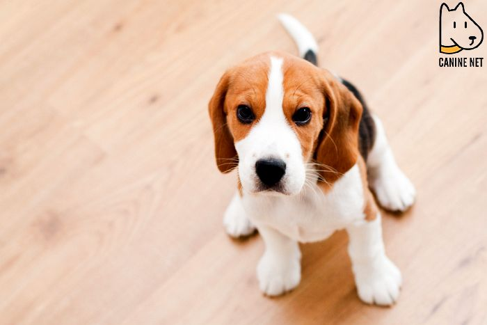 How Much Food To Feed A Beagle Puppy?