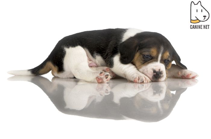 What Fruits Can Beagles Eat?