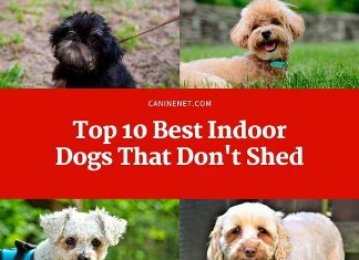 Best Indoor Dogs That Dont Shed