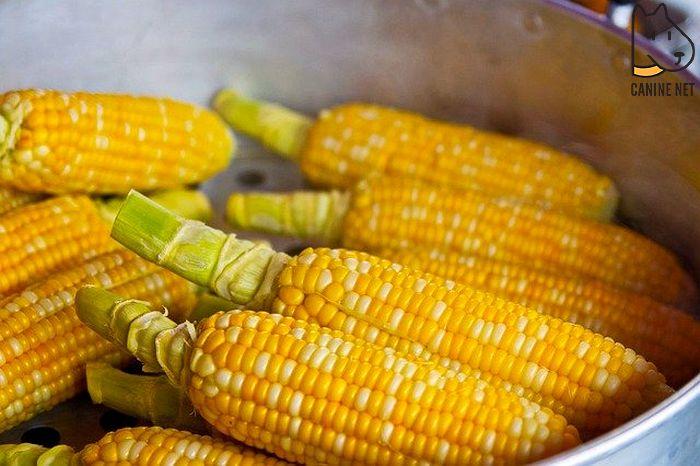 Can Corn Kill A Dog?