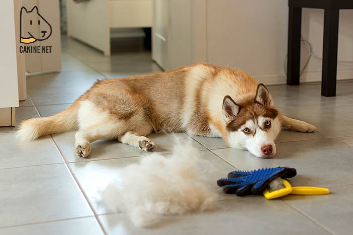 How Do You Stop A Husky From Shedding?