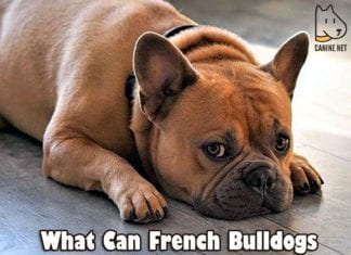 What Can French Bulldogs Not Eat?
